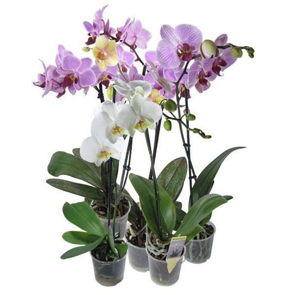 Купить Саженцы Орхидей В Интернет Магазине